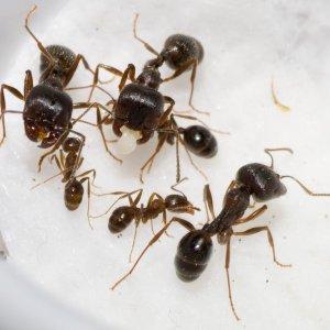 Колония муравьев-жнецов (5-15 рабочих с маткой)
